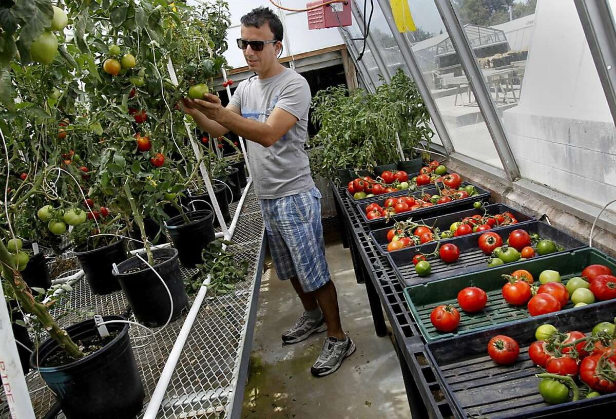 Physiologist Hakan Aktas PhD. inspects some of the tomatoes in the growth study. UC Davis researchers have developed new science to put flavor back into tomatoes using the naturally occurring forms of the gene GLK2.
