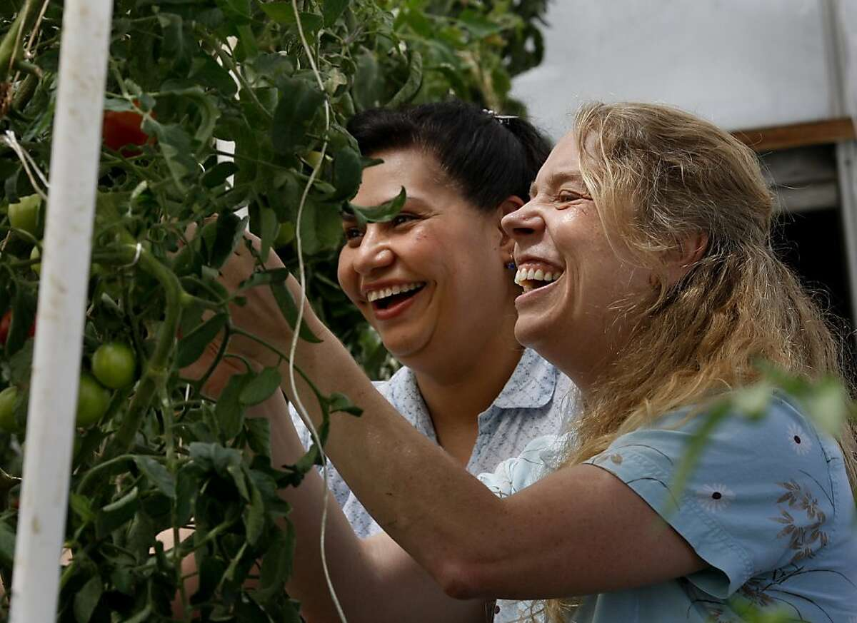 Researchers Theresa Hill (right) and Rosa Figueroa enjoy their time in the greenhouse. They were instrumental in the DNA studies. UC Davis researchers have developed new science to put flavor back into tomatoes using the naturally occurring forms of the gene GLK2.
