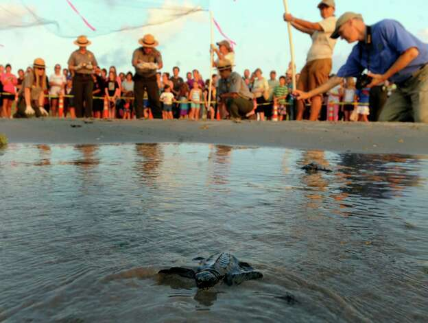 A Kemp's ridley sea turtle hatching reaches the waters of the Gulf of Mexico during a release of 94 of the small creatures on Padre Island National Seashore on Thursday, June 28, 2012. Photo: Billy Calzada, San Antonio Express-News / © 2012 San Antonio Express-News