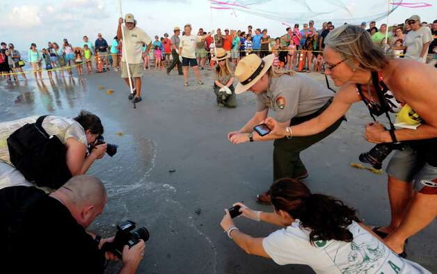 Kemp's ridley sea turtles hatchlings are the center of attention as they crawl into the Gulf of Mexico at Padre Island National Seashore on Thursday, June 28, 2012. A group of 94, which were found in a nest on the beach in May, were released. Photo: Billy Calzada, San Antonio Express-News / © 2012 San Antonio Express-News
