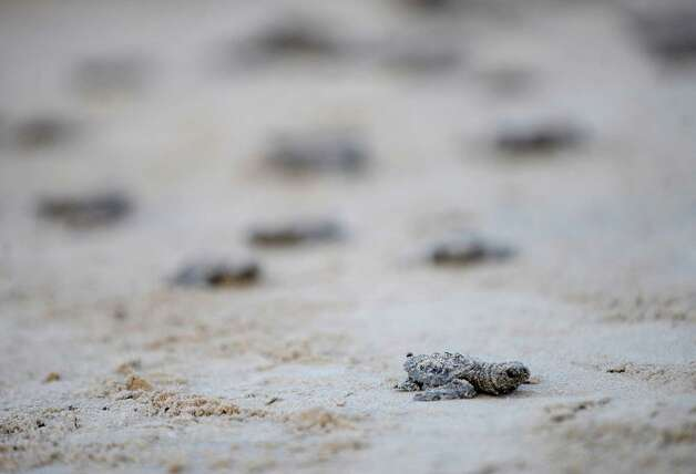 Kemp's ridley sea turtle hatchings race for the waters of the Gulf of Mexico during a release of 94 of the small creatures on Padre Island National Seashore on Thursday, June 28, 2012. Photo: Billy Calzada, San Antonio Express-News / © 2012 San Antonio Express-News