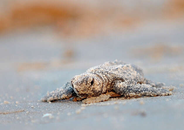 A Kemp's ridley sea turtle hatching covered in sand struggles to reach water during a release of 94 hatchings by the National Park Service and Texas Parks and Wildlife at Padre Island National Seashore on Thursday, June 28, 2012. Photo: Billy Calzada, San Antonio Express-News / © 2012 San Antonio Express-News