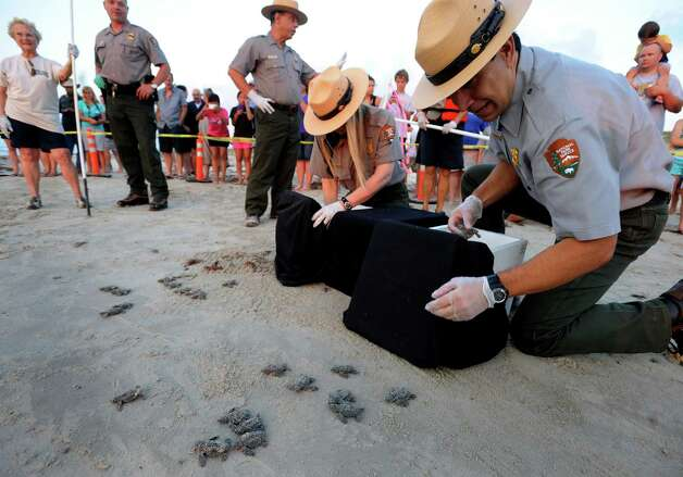 Joe Escoto (right) and Dr. Donna Shaver of the National Park Service release Kemp's ridley sea turtle hatchlings at Padre Island National Seashore on Thursday, June 28, 2012. Photo: Billy Calzada, San Antonio Express-News / © 2012 San Antonio Express-News