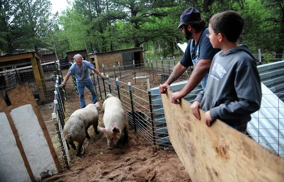 Jay Baker, left, corrals the family's pigs onto awaiting trailers in Woodland Park, Colo., Wednesday