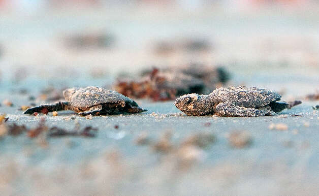Kemp's ridley sea turtle hatchlings head for the Gulf of Mexico after they were released next to the Padre Island National Seashore, Malaquite Visitor Center, Thursday, June 28, 2012, in Corpus Christi. Photo: Cody Duty, Houston Chronicle / © 2011 Houston Chronicle