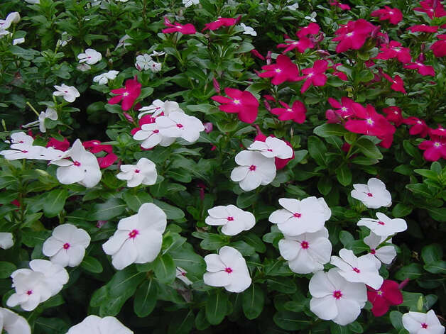 'Cora' vinca adds color to flower beds. Photo: Courtesy Jerry Parsons