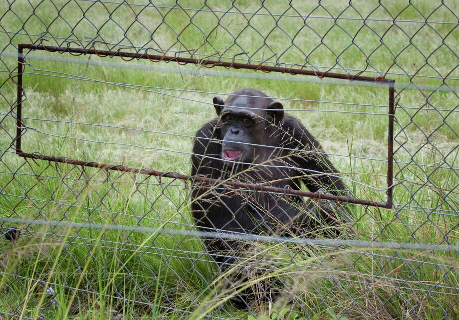 In this photo taken Feb. 1, 2011, chimpanzees sit in an enclosure at the Chimp Eden rehabilitation center, near Nelspruit, South Africa. A paramedic official says chimpanzees at a sanctuary for the animals in eastern South Africa bit and dragged a man at the reserve, badly injuring him. In a statement, Jeffrey Wicks of the Netcare911 medical emergency services company said the man he described as a ranger was leading a tour group at the Jane Goodall Institute Chimpanzee Eden Thursday June 28, 2012 when two chimpanzees grabbed his feet and pulled him under a fence into their enclosure. The international institute founded by primatologist Jane Goodall opened the sanctuary in 2005. It is a home to chimpanzees rescued from further north in Africa, where they are hunted for their meat of held captive as pets. Photo: AP