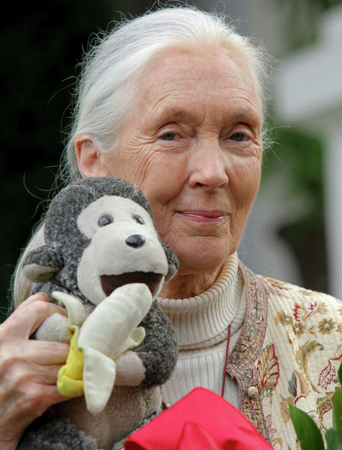 In this photo taken Wednesday April 25, 2012, chimpanzee expert Jane Goodall holds a monkey doll she carries with her wherever she travels, in Pasadena, Calif. A paramedic official says chimpanzees at a sanctuary for the animals in eastern South Africa bit and dragged a man at the reserve, badly injuring him. In a statement, Jeffrey Wicks of the Netcare911 medical emergency services company said the man he described as a ranger was leading a tour group at the Jane Goodall Institute Chimpanzee Eden Thursday June 28, 2012 when two chimpanzees grabbed his feet and pulled him under a fence into their enclosure. The international institute founded by primatologist Jane Goodall opened the sanctuary in 2005. It is a home to chimpanzees rescued from further north in Africa, where they are hunted for their meat or held captive as pets.(AP Photo/Nick Ut-file)