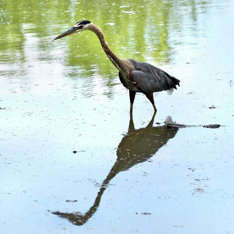 A Great Blue Heron fishes in a shallow back bay of the Mohawk River off Schermerhorn Rd. in Colonie Saturday June 30, 2012.   (John Carl D'Annibale / Times Union) Photo: John Carl D'Annibale