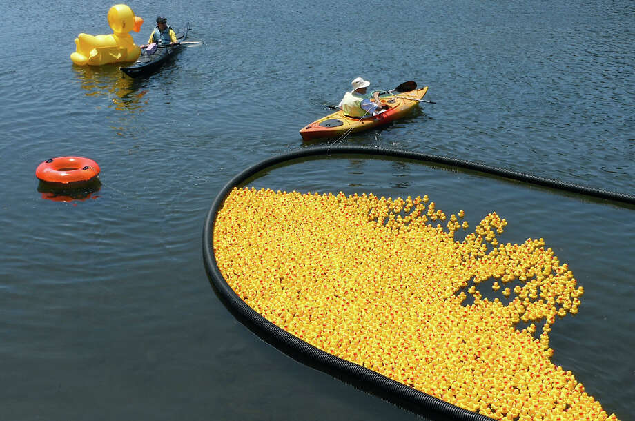 Thousands of bright yellow plastic ducks are coralled for Saturday's start of the annual Great Duck Race on the Saugatuck River sponsored by the Sunrise Rotary Club. Photo: Mike Lauterborn / Westport News contributed