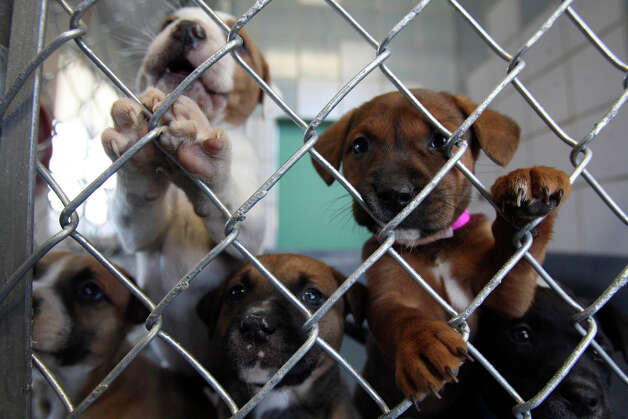 METRO- Puppies peers out the new kennels at the new Animal Care Services of Hwy 151 and Hwy 90 Saturday Jan.5, 2008. All the animals from the Brackenridge Animal Care service were transferred Saturday morning. DELCIA LOPEZ/STAFF Photo: DELCIA LOPEZ, SAN ANTONIO EXPRESS NEWS / SAN ANTONIO EXPRESS NEWS