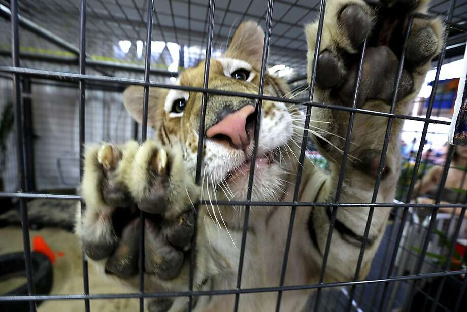 Enough with the appetizers: Thor, a 1-year-old golden tabby tiger, pulls impatiently on his cage while being fed small pieces of meat at the State Fair Meadowland in East Rutherford, N.J. He prefers big pieces of meat. Photo: Julio Cortez, Associated Press