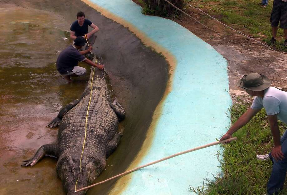 "(FILES) This file photo taken on November 9, 2011 shows Australian zoologist Adam Britton (top L) measuring a captive crocodile nicknamed ""Lolong"" in Bunawan town, Agusan del Sur province, in the Philippines southern island of Mindanao. A saltwater crocodile weighing more than a tonne and suspected of killing two people in the Philippines has been declared the largest such reptile in captivity by the Guinness Book of World Records. The 6.17-metre (20.24-foot) male, nicknamed ""Lolong"", was captured in the Agusan marsh on the southern island of Mindanao last September after a two-year search following the killing of a girl and the disappearance of a fisherman. AFP PHOTO/ FILES / RICHARD GRANDERICHARD GRANDE/AFP/GettyImages Photo: Richard Grande, AFP/Getty Images"
