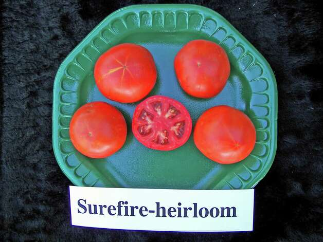 The wonderful fall tomato Surefire is now in heirloom status because hybridizers have quit producing seeds.