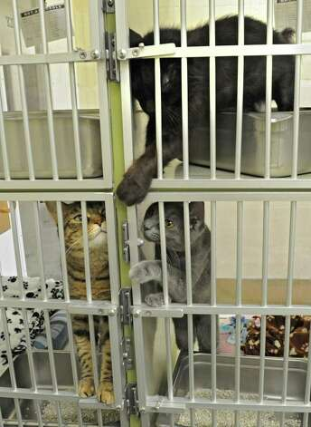 Three of many cats at the Animal Protective Foundation Tuesday, July 3, 2012 in Glenville, N.Y. Lately, the shelter has been full or near full capacity. (Lori Van Buren / Times Union) Photo: Lori Van Buren