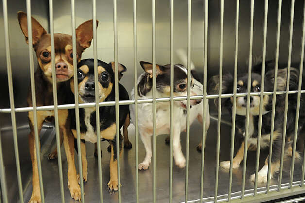 Chihuahuas at the Animal Protective Foundation Tuesday, July 3, 2012 in Glenville, N.Y. These Chihuahuas are not available for adoption, yet, due to an ongoing legal case. Lately, the shelter has been full or near full capacity. (Lori Van Buren / Times Union) Photo: Lori Van Buren