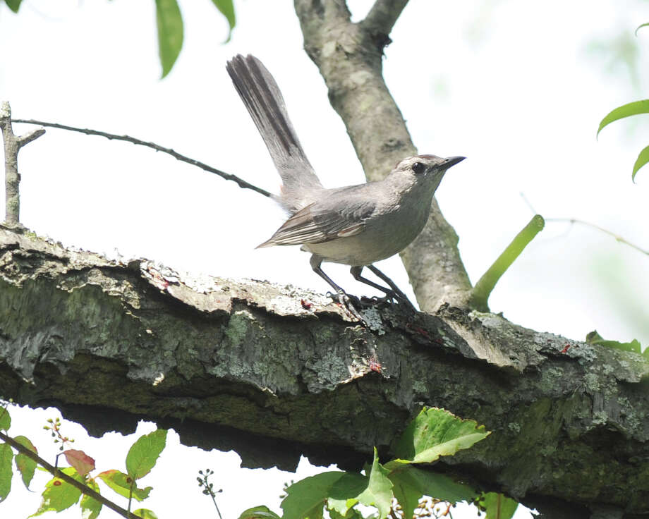 A catbird in a tree at Greenwich Point, Tuesday afternoon, July 3, 2012. Photo: Bob Luckey / Greenwich Time