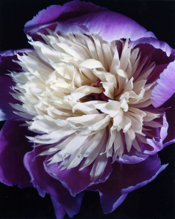 "Above is a work titled ""Peony"" by photographer MaryEllen Hendricks. Westport Public Library will hold a ìPast Exposuresî exhibit by Hendricks through Wednesday, Sept. 26, in the libraryís Great Hall. Photo: Contributed Photo"