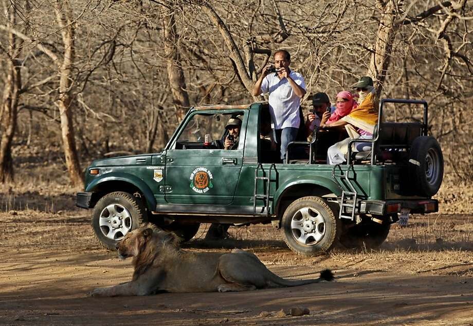 ADVANCE FOR USE MONDAY, JULY 9, 2012 AND THEREAFTER - In this Sunday, March 25, 2012 photo, tourists take photos of a lion during a safari at the Gir Sanctuary in the western Indian state of Gujarat, India. Nurtured back to about 400 from less than 50 a century ago, these wild Asiatic lions are the last of a species that once roamed from Morocco and Greece to the eastern reaches of India. The subject of saving lions is an emotional one in India. The lion also holds iconic status in religions and cultures. The multi-armed Hindu warrior goddess Durga is traditionally shown with a lion as her mount. Four lions make the national emblem - symbolizing power, courage, pride and confidence. (AP Photo/Rajanish Kakade) Photo: Rajanish Kakade, Associated Press