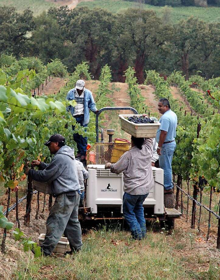 From right: Victor Arreola, Rogelio Avilez, Antonio Rodriguez, Ramiro Albor & Daniel Moreno pick Pinot Noir grapes from the Iron Horse estate vineyards in Sonoma County's Green Valley. Photo: Laurence G. Sterling, Iron Horse Vineyards