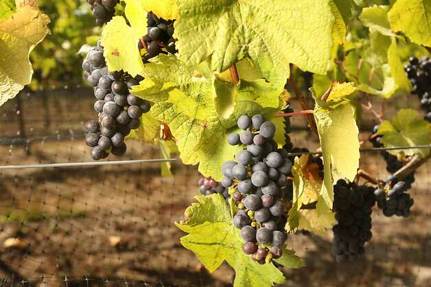Pinot Noir grapes on the vineyard owned by Tom and Rebecca Kisaichi, in Sebastopol, Calif., on August 25, 2008. Photo: Craig Lee, The Chronicle 2008