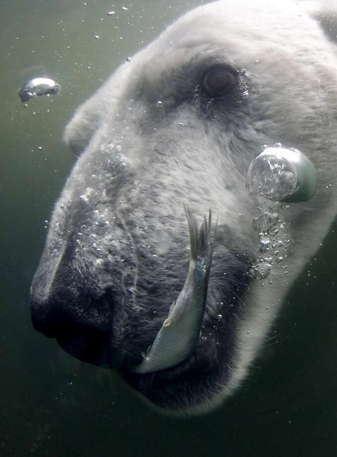 Dinner in the deep end: A fish meets its fate in the polar bear aquarium at the Hamburg (Germany) Zoo. Photo: Philipp Guelland, Associated Press