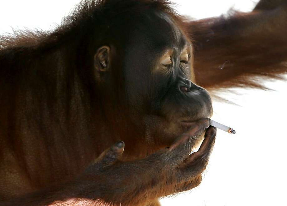 But it makes me look cool and sophisticated!Tori inhales after bumming a smoke inside her cage at Satwa Taru Jurug Zoo in Solo, Central Java. The zoo plans to move the 15-year-old orangutan, who learned to smoke about a decade ago by imitating people, away from visitors. Zoo-goers regularly throw lit cigarettes into her cage so they can watch and photograph her puffing away and exhaling smoke. Photo: Associated Press