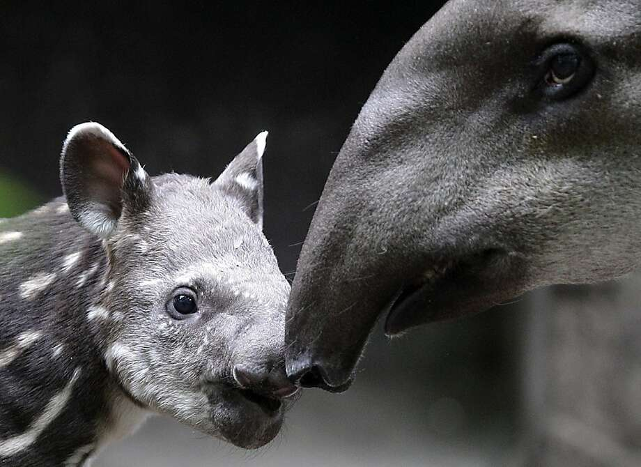 That's quite a honker, Mom! A newborn tapir bumps into its mother's nose during its first walk in their outdoor enclosure at the zoo in Duisburg, Germany. Photo: Frank Augstein, Associated Press