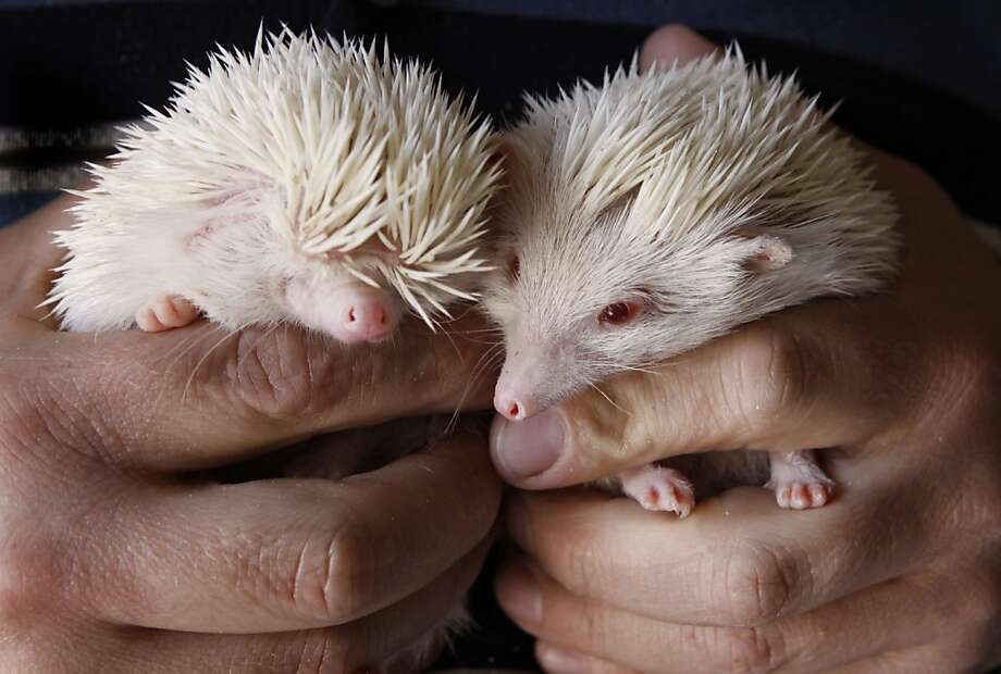 By the pricking of my thumbs, something porcupiney this way comes. Albino porcupines, to be precise. The rare, pink-eyed baby hedgehogs will be part of the World of Cats, Dogs and Pet Exhibition in Johannesburg. Hopefully, there will be plenty of pairs of tweezers on hand. Photo: Denis Farrell, Associated Press