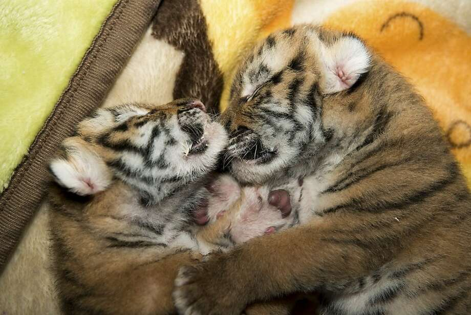 Tiger tots:Month-old Amur cubs cuddle in an intensive care unit at the Columbus Zoo and Aquarium in Ohio. The cubs required special attention because one was nursing poorly. Photo: Grahm Jones, Associated Press
