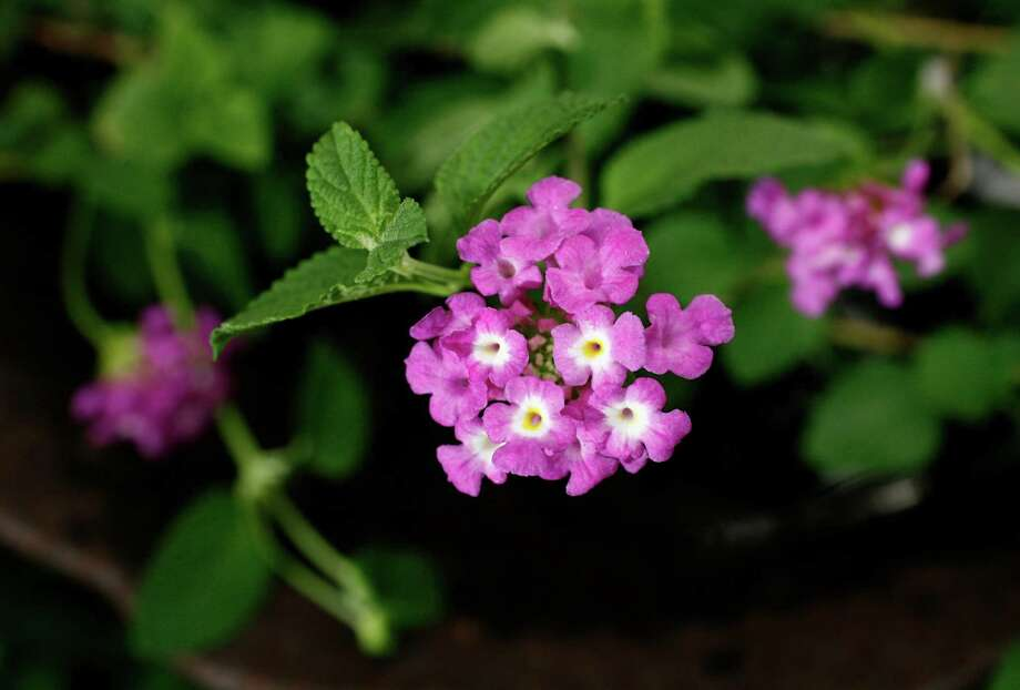 Trailing lavender lantana produces 1-inch clusters of small, white-eyed blooms. Photo: John Everett / John Everett