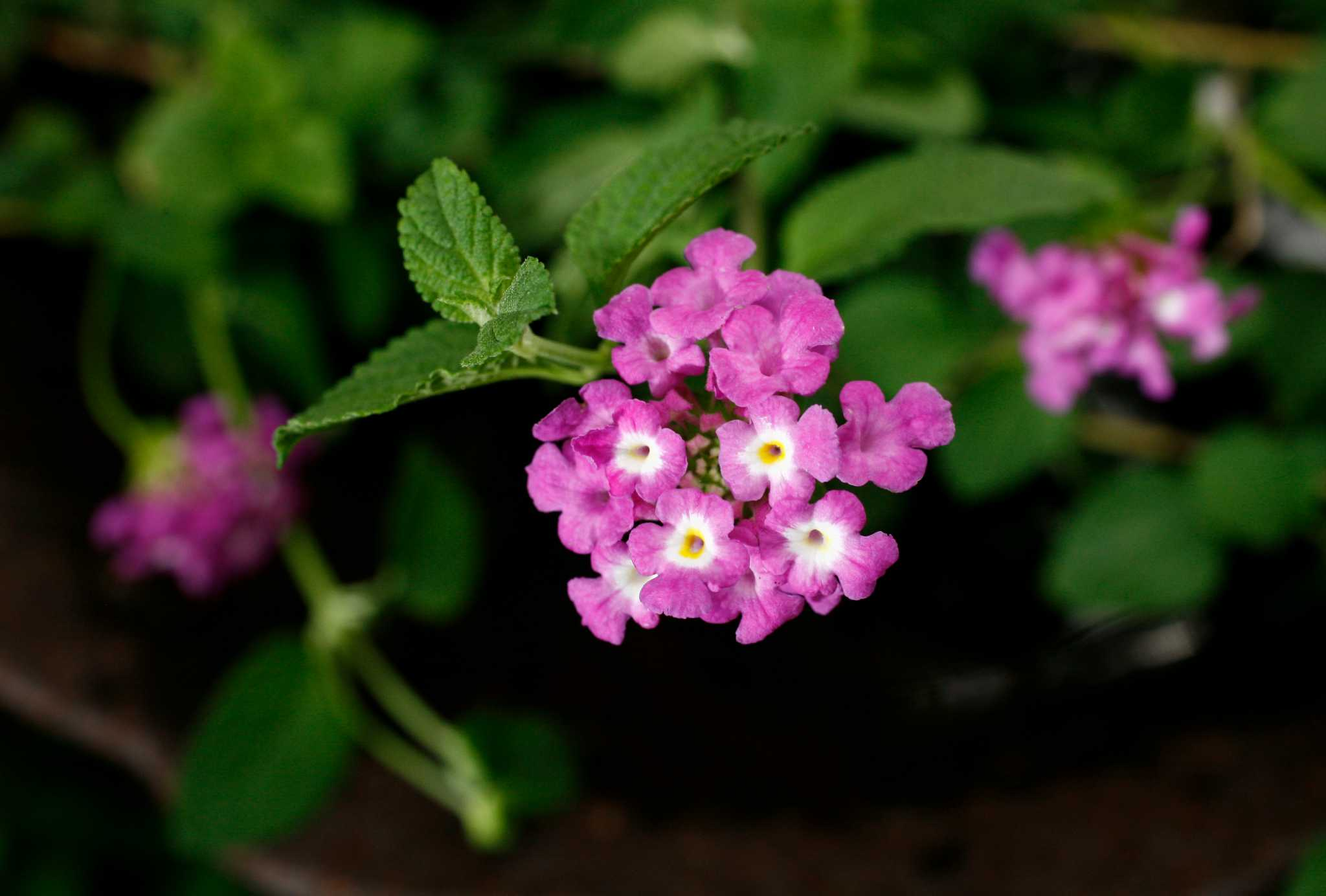 Trailing Lavender Lantana A Long Flowering Butterfly