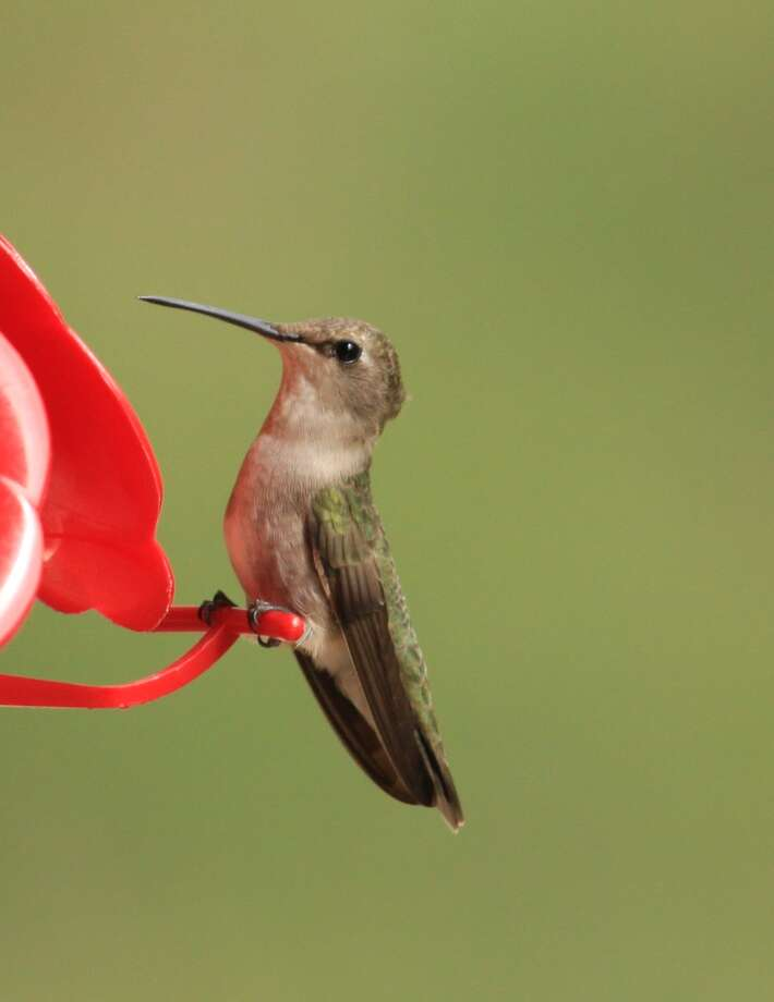 Feeders supplement the hummingbird diet, particularly during dry times when flowers and insects are less available. Perches allow hummingbirds to rest while feeding. Photo: Kathleen Scott