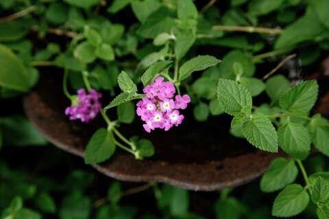 Trailing Lavender Lantana A Long Flowering Butterfly Magnet San