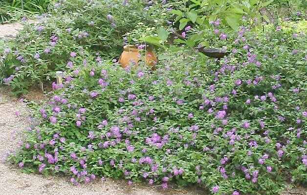 Trailing lavender lantana can be used as a groundcover or in containers. Photo: John Everett / John Everett