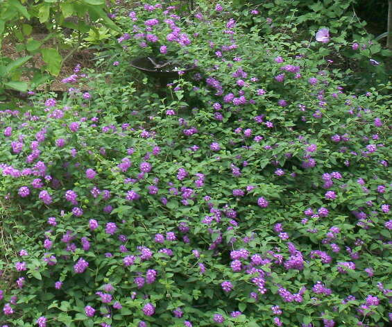 Trailing lavender lantana creates a carpet of nectar-filled  blooms. Photo: John Everett / John Everett
