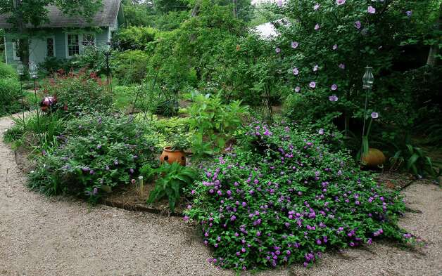 Trailing lavender lantana is happy in a bed with eggplant, coneflowers and  'Blue Chip' buddleia. Photo: John Everett / John Everett