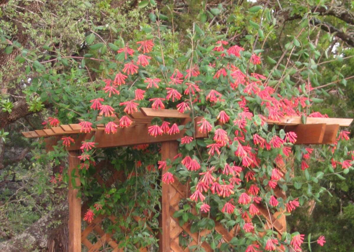 Coral honeysuckle (Lonicera sempervirens) attracts hummingbirds migrating in spring.