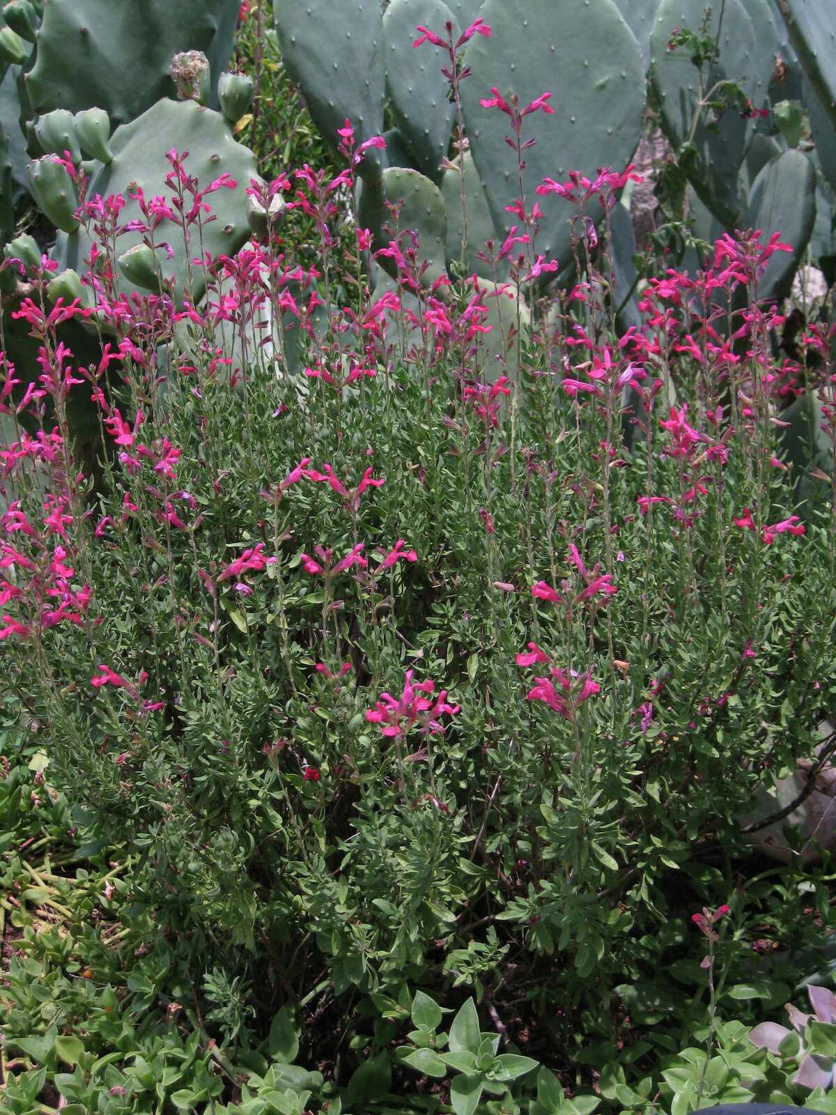 Hummingbird hotspot 5- Autumn sage (Salvia greggii) is a hummingbird favorite. With irrigation and pruning, these evergreen bushes bloom from spring through autumn. KATHLEEN SCOTT, EXPRESS-NEWS.