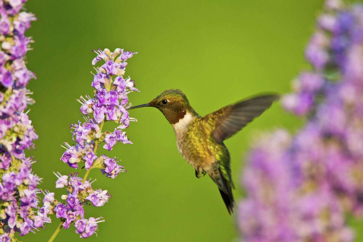 A male ruby-throated hummingbird (Archilochus colubris) hovers as it sips nectar from flowers.