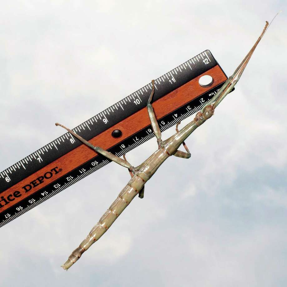 Some female Texas giant walking sticks measure more than 7 inches long. Photo: Forrest M. Mims III, For The Express-News