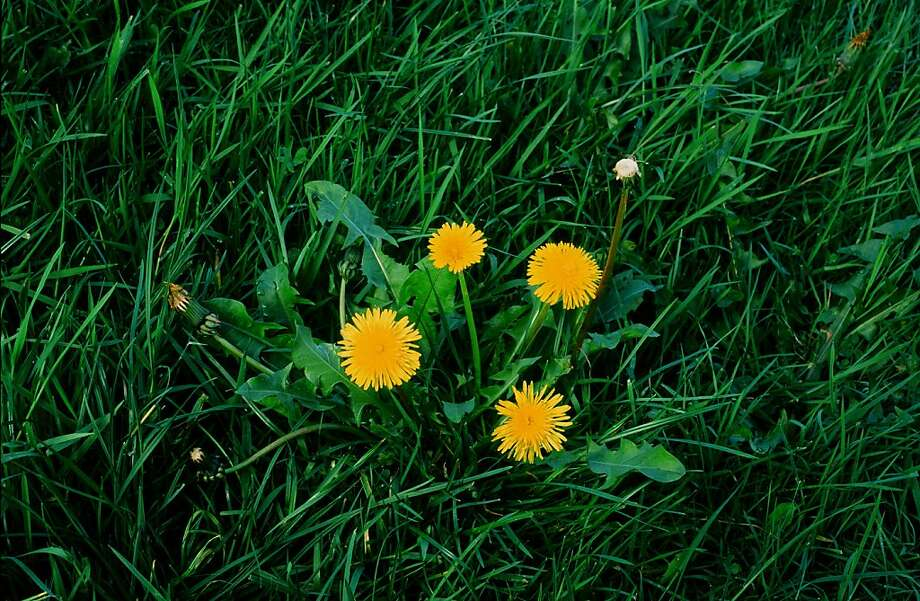 Dandelion, a low plant with bright yellow flowerheads borne singly on bare stems, has edible leaves and flowerbuds. It's even cultivated by some. Photo: Pam Peirce