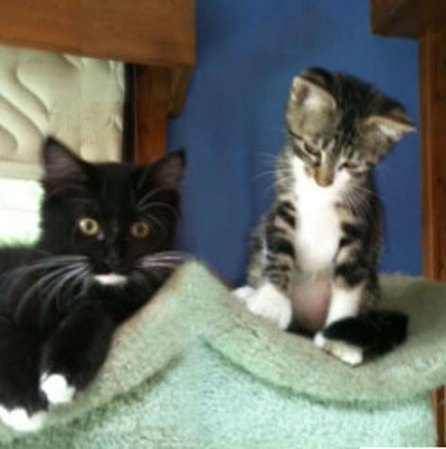 Winnie and White Paws are two adorable kittens looking for their forever home. (Mary Lou Baker)