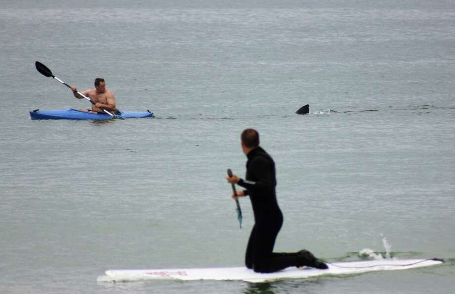 Walter Szulc Jr., in kayak at left, looks back at the dorsal fin of an approaching shark at Nauset Beach in Orleans, Mass. in Cape Cod on Saturday, July 7, 2012. An unidentified man in the foreground looks towards them. No injuries were reported. The previous week, a 12- to 15-foot great white shark was seen off Chatham in the first confirmed shark sighting of the season according to a state researcher. Two more sightings were reported Tuesday, July 2, 2012. The same waters are filled with seals, which draw the sharks because they are a favorite food of the animal. Photo: Shelly Negrotti, AP / Shelly Negrotti