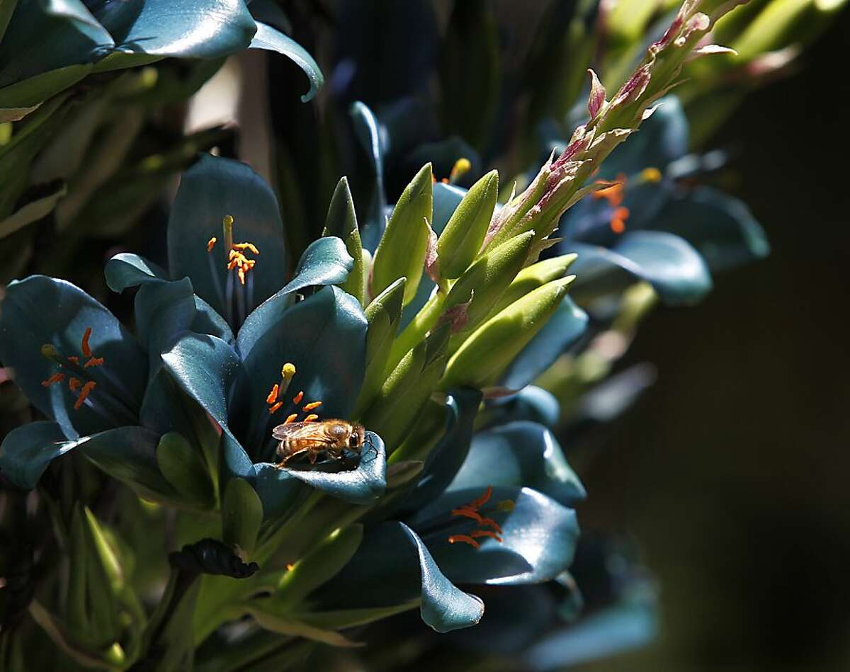 A honey bee visits a blue puya flower at the Western Hills Garden in Occidental, Calif. on Saturday, July 7, 2012. Tim and Chris Szybalski recently reopened the three-acre garden after rescuing the property from foreclosure.
