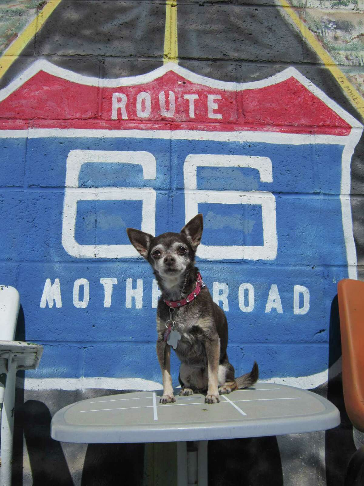 Sasha, Michelle Newman's 17-year-old Chihuahua, takes a break in Oklahoma on Route 66.