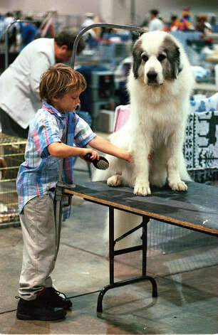 A boy grooms his dog at the River City Cluster of Dog Shows on Aug. 17, 1997 at the Convention Center. Photo: John Davenport, San Antonio Express-News