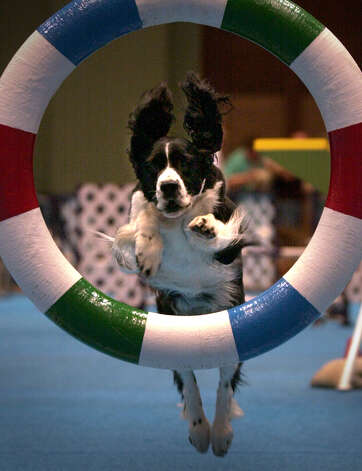 Jerry, a Springer Spaniel, leaps thru a hoop during the agility competition at the River City Cluster of Dog Shows on July 14, 2001 at the Convention Center. Photo: Kin Man Hui, San Antonio Express-News