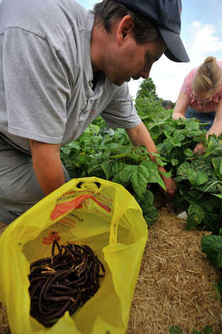 John Tomascak, left, and his sister, Donna Katsuranis, pick purple beans at the Brookfield Giving Garden at the Eriksen Farm Open Space on Tuesday, July 10, 2012. The two siblings are founding members of the garden. Photo: Jason Rearick / The News-Times