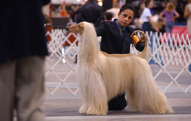 Juan Miranda, 14, shows his Afghan dog Baron to a judge during the junior handling competition at the River City Cluster of Dog Shows on July 10, 2003 at the Convention Center. Photo: Kin Man Hui, San Antonio Express-News / SAN ANTONIO EXPRESS-NEWS